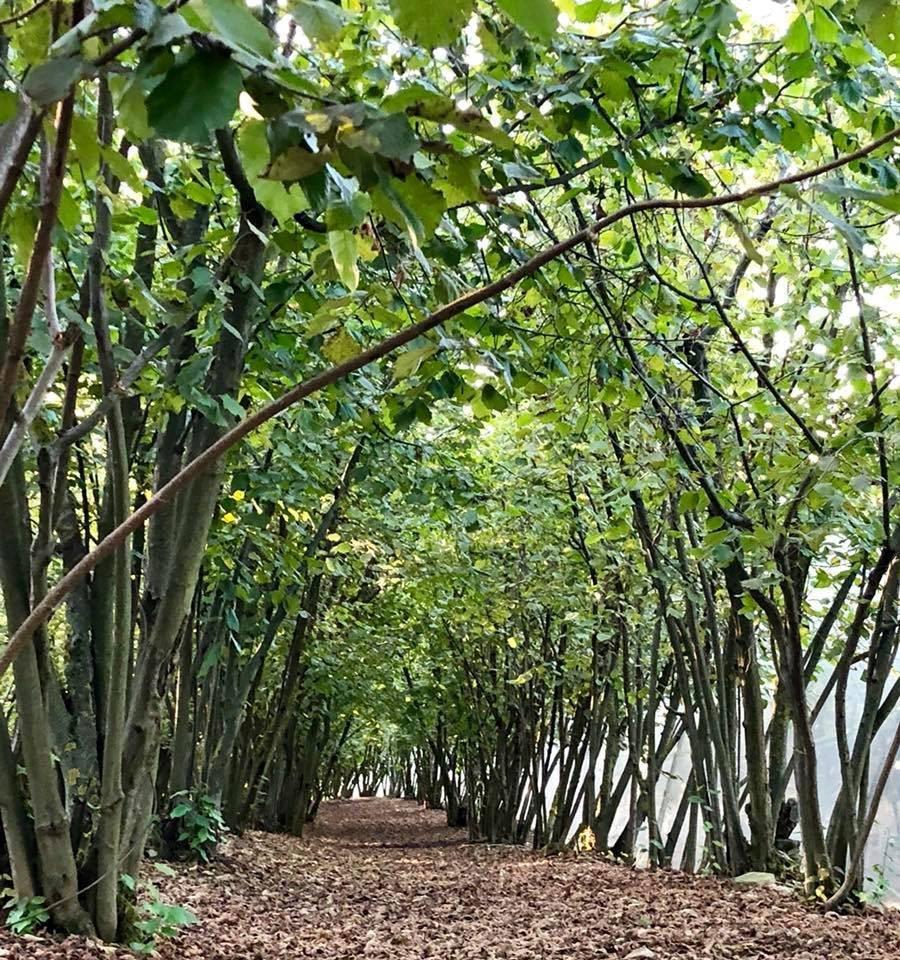 Hazel groves